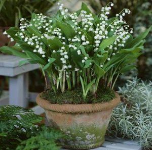 铃兰花盆栽图片